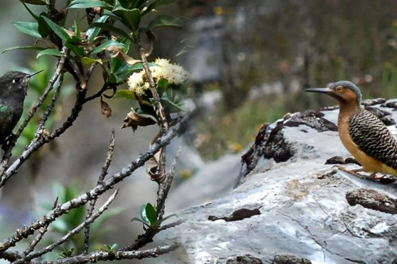 Birding the Cordillera Blanca
